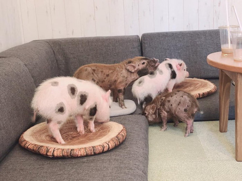 you-can-hang-out-with-chubby-piglets-in-this-tokyo-cafe-3-500