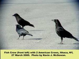 fish-crow-and-am-crow-32700