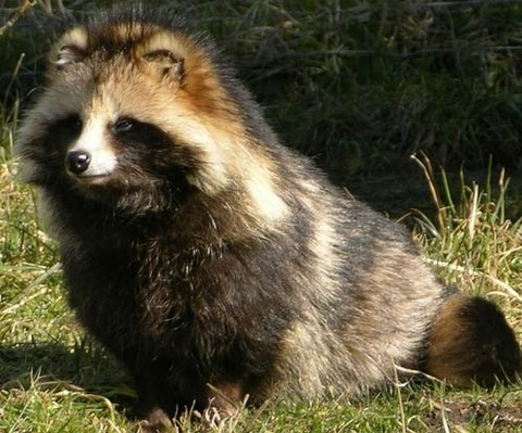25 - Raccoon Dog