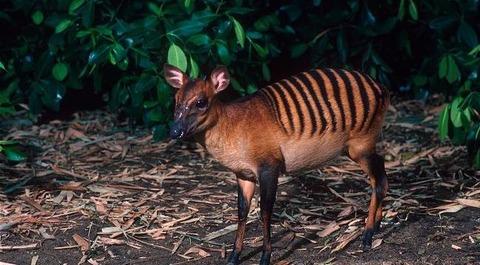 30 - Zebra Duiker