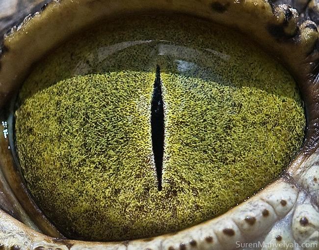 animal-eyes-photography-suren-manvelyan-41-5f4e19517dde6__700