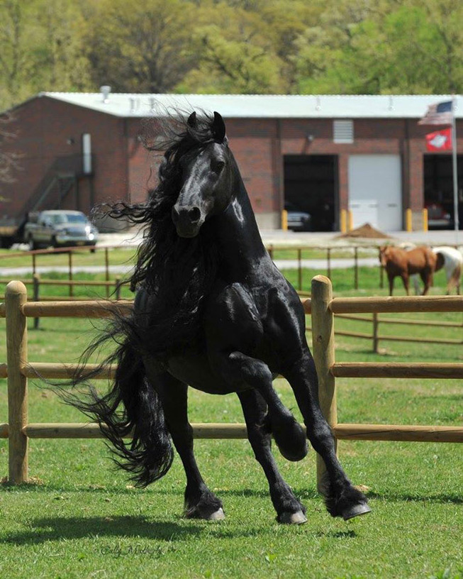 frederik-the-great-friesian-horse-stallion-32-5e96f9fbbe5db__700