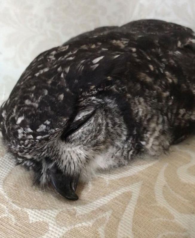 sleeping-baby-owls-face-down-7-5ef2f63b2030d__700