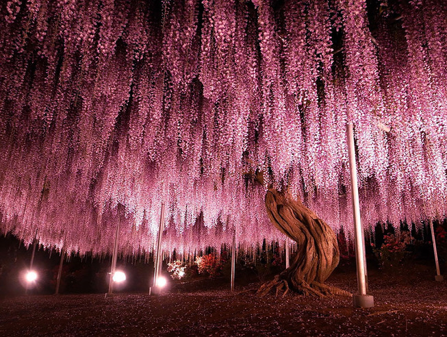 oldest-wisteria-tree-ashikaga-japan-1