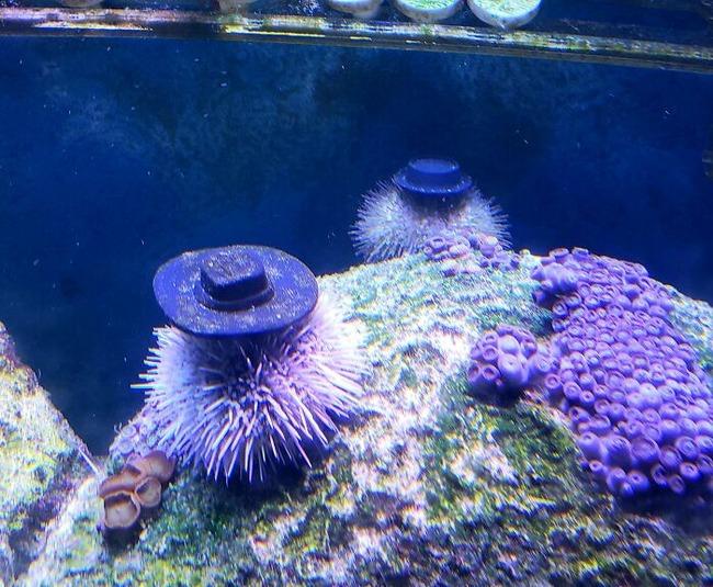 sea-urchins-tiny-hats-2-5fbba969ddb0b__700