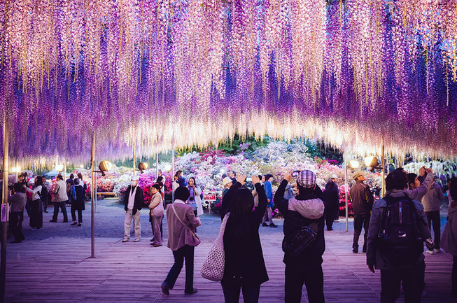 oldest-wisteria-tree-ashikaga-japan-6
