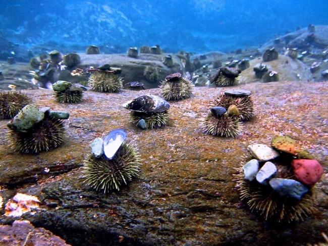sea-urchins-tiny-hats-7-5fbba973bd5ad__700 (1)