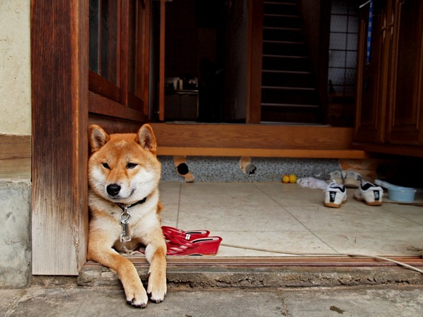 Shiba_inu_at_the_entrance_of_a_house,_-Japan_2010_a