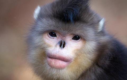 14 - Snub-Nosed Monkey