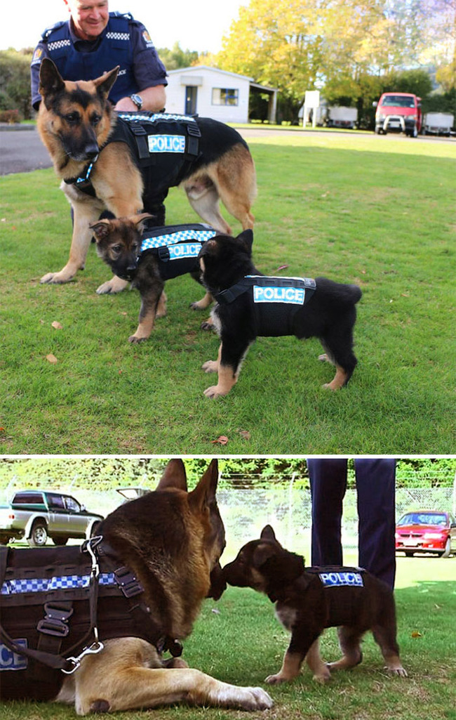 adorable-puppies-police-training-102-5f465fcf509b6__700