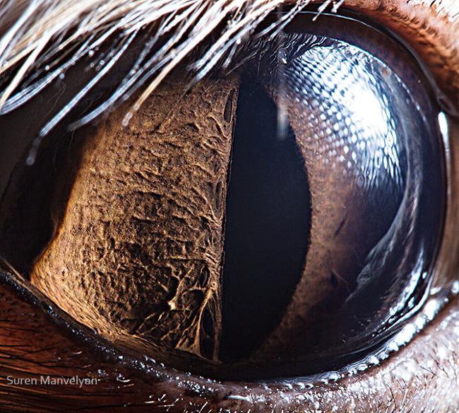 animal-eyes-photography-suren-manvelyan-8-5f4e18e9ab8a5__700