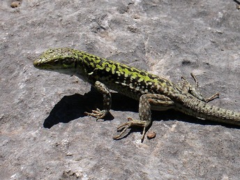 italian_wall_lizard