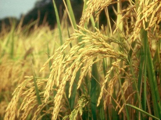 RiceBlast02