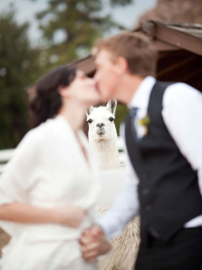 bear-photobombs-wedding-5b9a07d504bfe__700