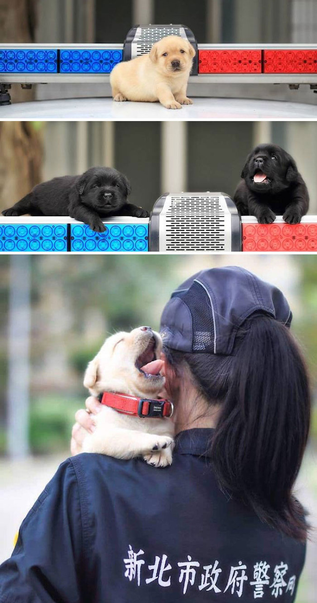 adorable-puppies-police-training-106-5f46693dda20d__700