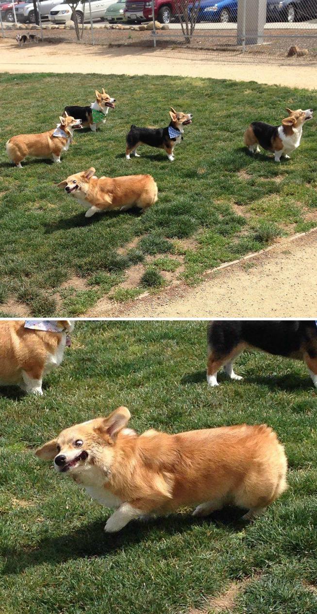 funny-corgis-cute-dogs-304-5b0d364bd2b6b__700