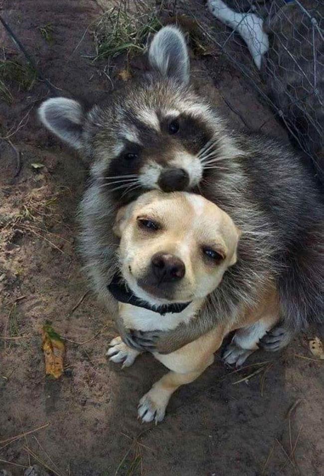 funny-raccoons-301-5f880b3349df0__700