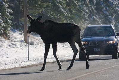 moose-car
