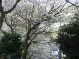 みかん山桜