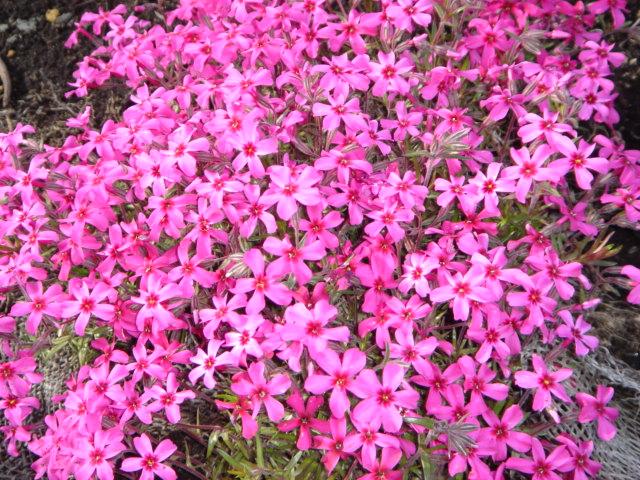芝桜濃いめピンク