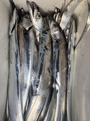 太刀魚釣り大会 (26)