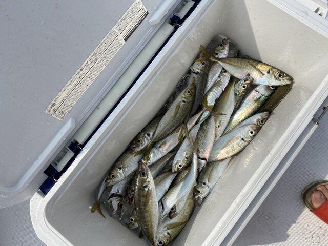 アジ釣り (3)