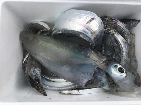 太刀魚釣果3