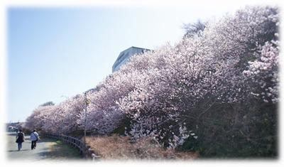 DSC03663 山中湖から少し早めに戻り、足柄に寄って今が見頃の春めき桜を見に行ってきま...