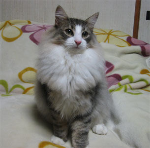 ノルウェージャンフォレストキャット子猫・春生まれ・オーナー様