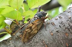 【大発見】セミの羽の構造に抗菌作用があると判明!
