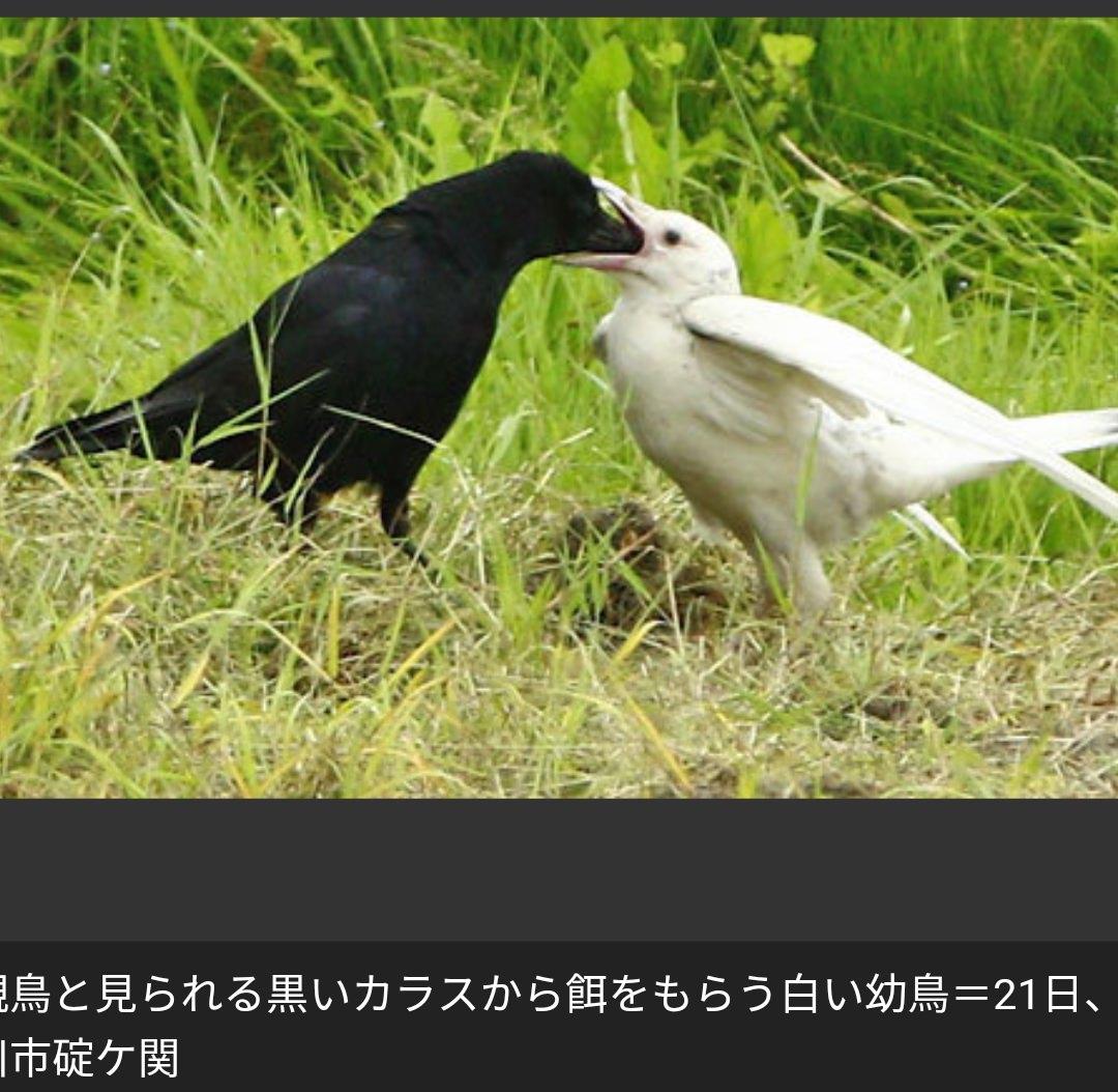 【珍鳥】ほぼほぼ白いカラスに専門家も目を白黒 親子?「とても珍しい」
