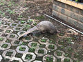 【画像】「奇妙な」生き物が深夜の中国繁華街に出没… 犬に襲われていたところを保護