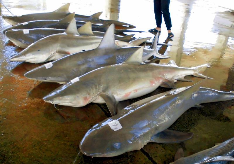 サメ駆除 過去最多の捕獲数