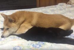 【SNS】猫が好きすぎて離したくない柴犬wwww