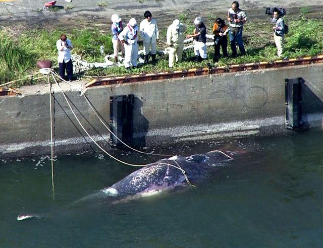 【南海トラフ】愛知県の三河港にクジラの死骸が浮かぶ