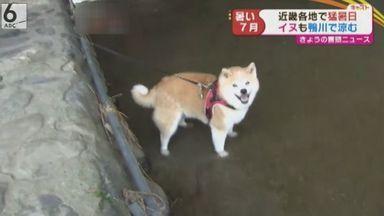 【猛暑】鴨川でイヌが涼む