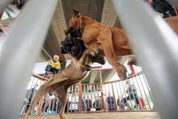 【画像あり】体長1メートルの闘犬が逃走って、こんなのと対峙したら絶望しかねーだろ