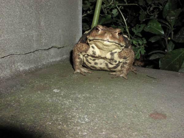 【画像】めっちょでかいカエルが玄関の前にいてワロタwwww