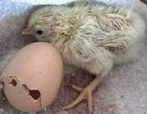 【驚愕】猛暑でベランダの卵から、なんとヒヨコがふ化wwww
