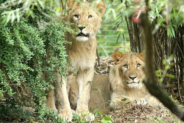 【緊急事態】ドイツの動物園でライオンやトラなど猛獣が脱走、クマは射殺 捕獲作戦続く