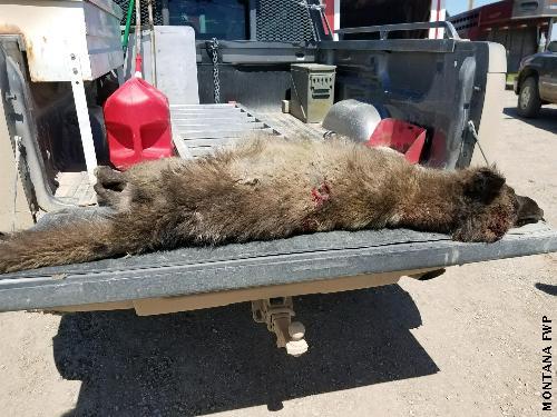 【衝撃画像】オオカミ?クマ?謎の生物(UMA)を牧場主が射殺!マジで正体不明だとDNA分析へ