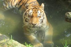 【画像】アムールトラが水浴びでこの表情の公式ツイートが大人気wwww