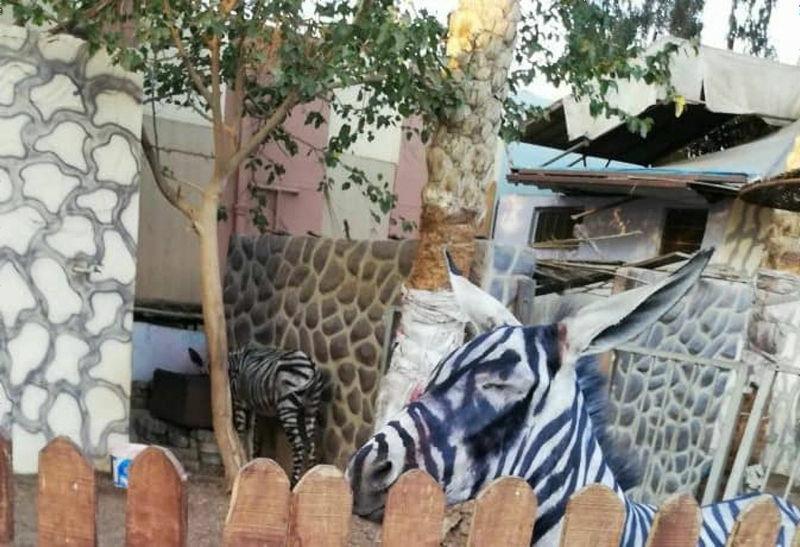 【悲報】シマウマが高いためロバを縞模様に塗って飼育してる貧乏動物園 動物園はシマウマと主張