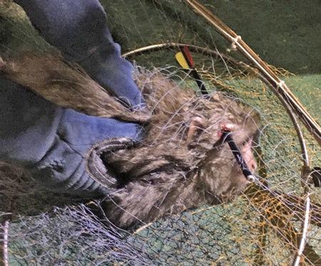 【かわいそう】頭に矢の刺さったサル 捕獲後、安楽死に