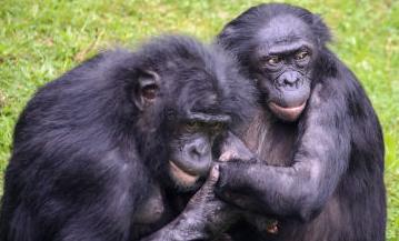 類人猿ボノボ観察中、ボノボ同士の喧嘩により落下した枝が頭に直撃して下半身まひ 元京大院生の女性らが大学提訴
