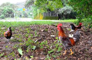 野良ニワトリの大群が国道脇に!この1年で急増 「どうかこれ以上は捨てないで」高知県