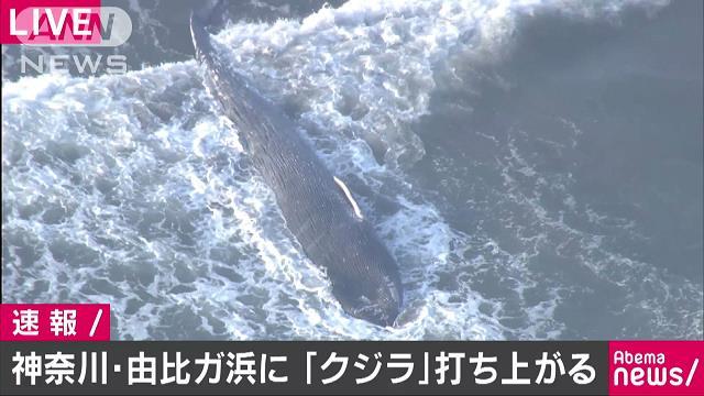【驚愕】「クジラがいる」 鎌倉市の由比ケ浜の海岸にクジラが打ち上げられる