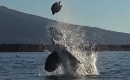 【残酷?】ウミガメをもてあそぶシャチ、なぜ? 口先でカメを器用にくるくる回転させて遊んだ後に解放(*動画あり)