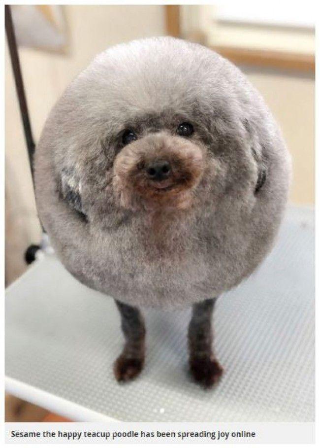 【可愛い!】まんまるにトリミングされた犬が海外で話題にwww