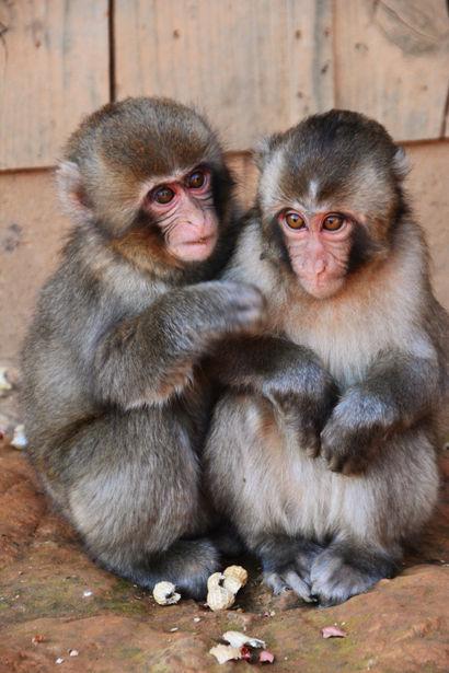 【実験】サルも給料の多寡で落ち込む 2匹のサルに報酬与える・与えないを繰り返すと貰えないサルはやる気を起こさなくなると判明